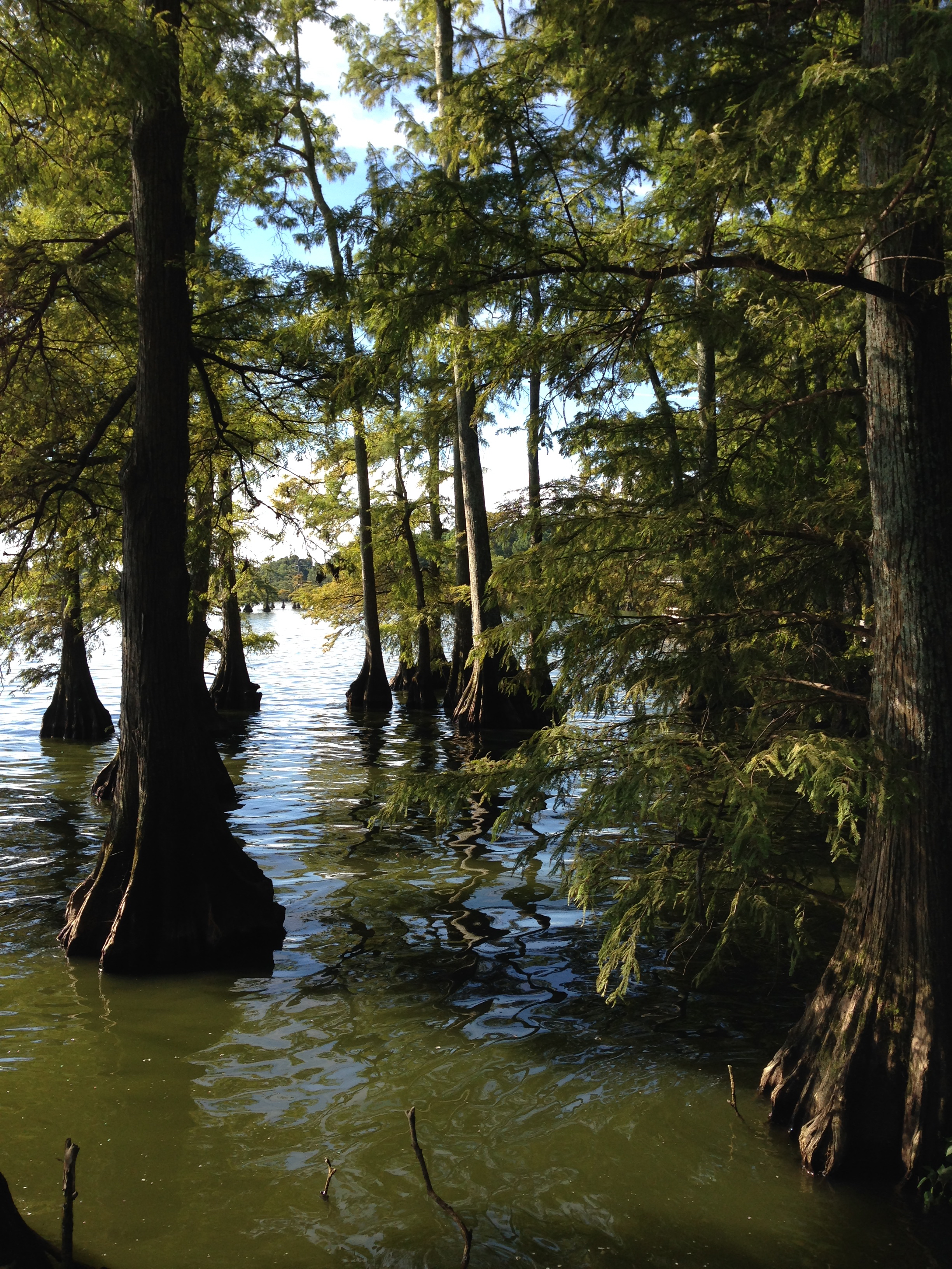 Bald cypress on the shore of Reelfoot Lake