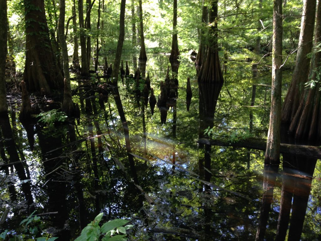 The swamp in the National Wildlife Refuge at Reelfoot Lake